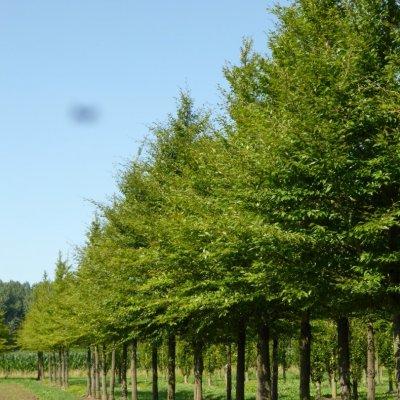 Fagus sylvatica 'Laciniata'