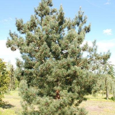 Pinus sylvestris 'Bonna'
