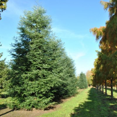 Sequoia sempervirens 'Winter Blue'