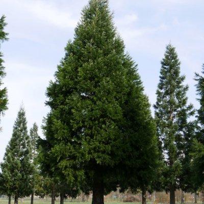 Sequoiadendron giganteum – Mammoetboom