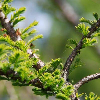 Taxodium distichum 'Pévé Minaret'
