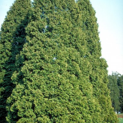 Thuja occidentalis – Westerse levensboom