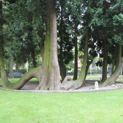 Thuja plicata – Reuzenlevensboom