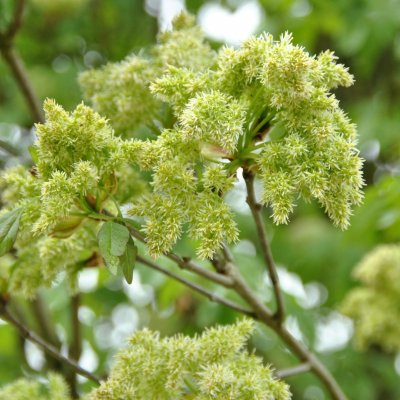 Fraxinus ornus – Pluim-es, Bloem-es, Manna-es