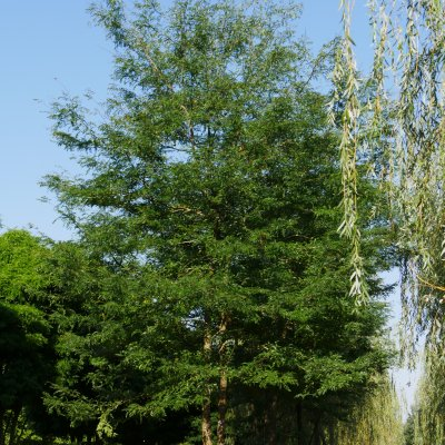 Gleditsia triacanthos – Valse Christusdoorn
