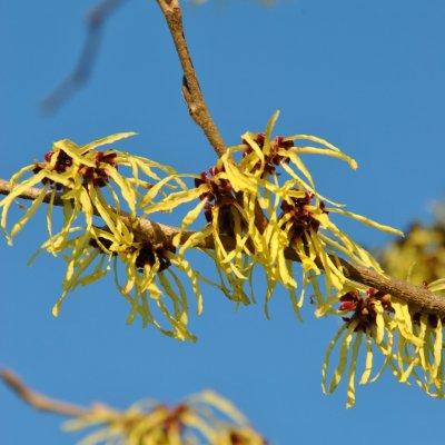Hamamelis ×intermedia 'Pallida'