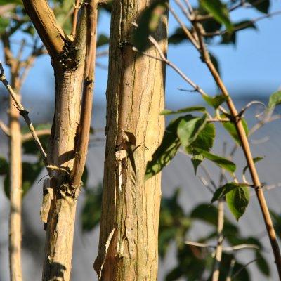 Heptacodium miconioides – Zevenzonenboom