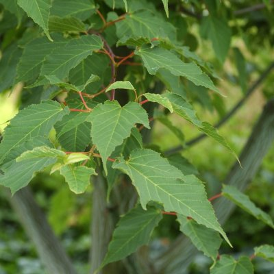 Acer pensylvanicum