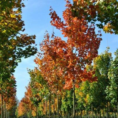 Acer platanoides – Noorse esdoorn