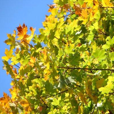 Acer platanoides 'Cleveland'