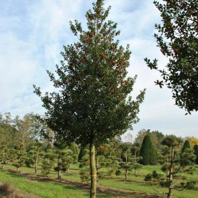 Ilex aquifolium – Gewone hulst, Groene hulst, Scherpe hulst