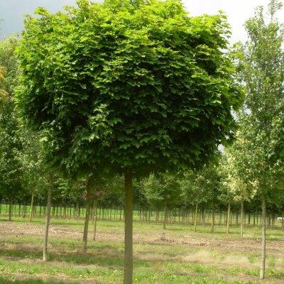 Acer platanoides 'Globosum' – Bolesdoorn