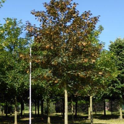 Acer pseudoplatanus – Gewone esdoorn, Bergesdoorn