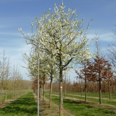 Prunus domestica 'Black Star'