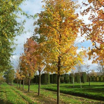 Acer saccharinum – Zilveresdoorn, Witte esdoorn
