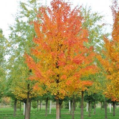 Acer saccharum – Suikeresdoorn