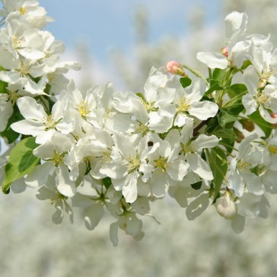 Malus baccata 'Street Parade' – Sierappel