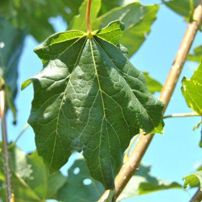 Acer saccharum BELLE TOWER ('Reba')