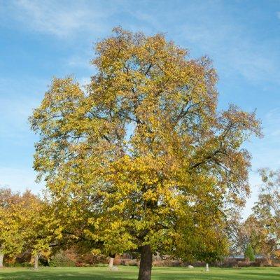 Ostrya carpinifolia – Europese hopbeuk