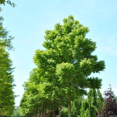 Phellodendron amurense var. lavallei