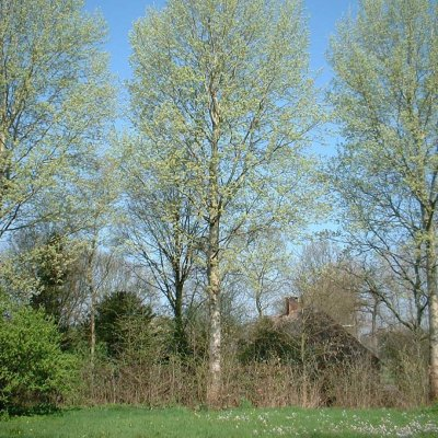 Populus ×canescens 'Schubu'