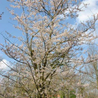 Prunus incisa – Fuji-kers