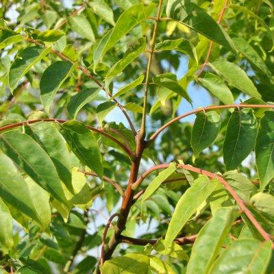 Ailanthus altissima – Hemelboom