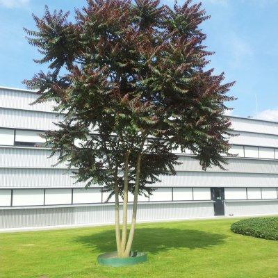 Ailanthus altissima 'Sangiovese'