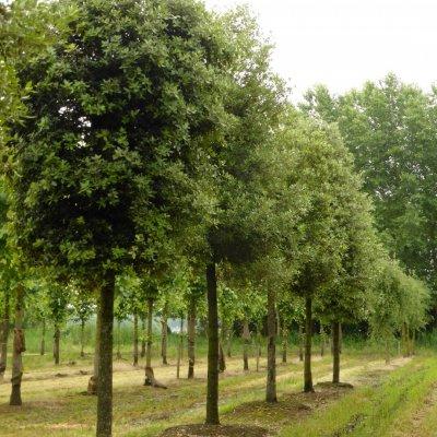Quercus ilex – Steeneik