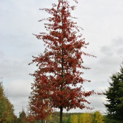 Quercus palustris 'Woodside Splendor'