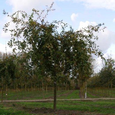 Quercus robur 'Pendula' – Treureik
