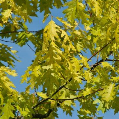 Quercus rubra 'Magic Fire'