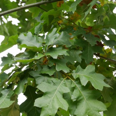Quercus velutina – Blikeik, Verfeik