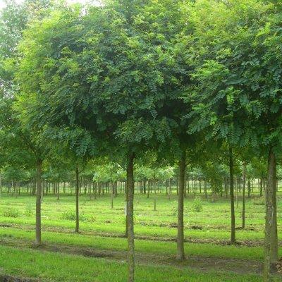 Robinia pseudoacacia 'Umbraculifera' – Bolacacia, Kogelacacia