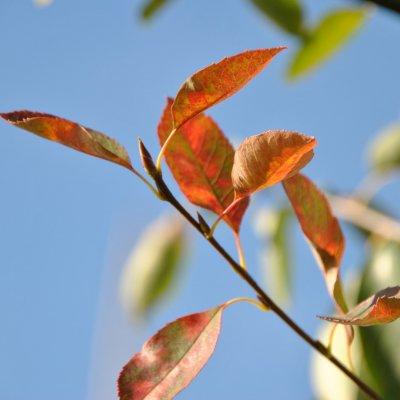 Amelanchier 'Autumn Briliance'