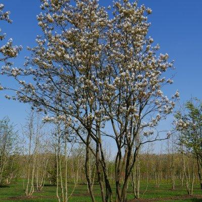 Amelanchier lamarckii – Krentenboompje