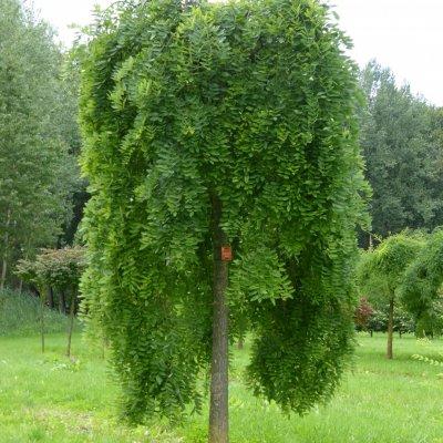 Styphnolobium japonicum 'Pendula'
