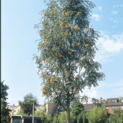 Sorbus ×arnoldiana 'Schouten'