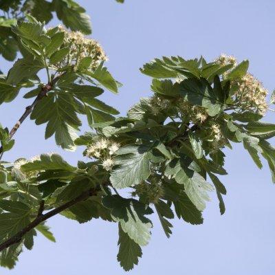 Sorbus hybrida 'Gibbsii' – Finse meelbes