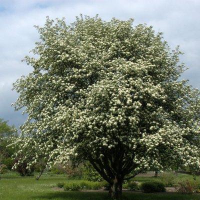 Sorbus intermedia – Zweedse meelbes
