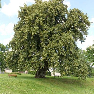 Tilia cordata – Winterlinde, Kleinbladige linde