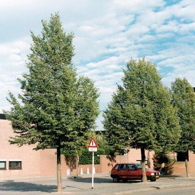 Tilia cordata 'Rancho'