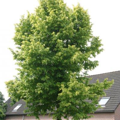 Tilia ×europaea 'Wratislaviensis'