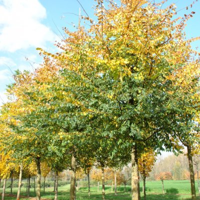 Ulmus minor 'Cloud Corky'