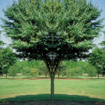 Zelkova serrata 'Village Green'