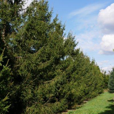 Picea abies – Fijnspar