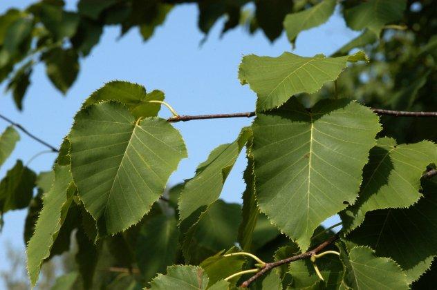Betula-maximowicziana