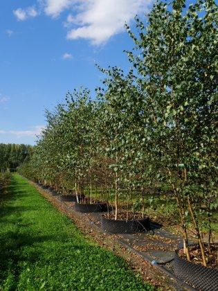 Betula Pendula Woodside Forest