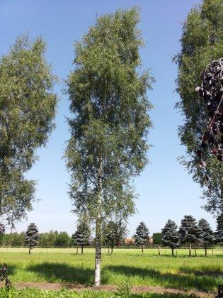 Betula-pendula-laciniata