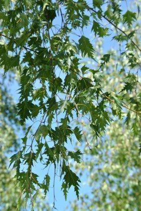 Betula Pendula Lacinicata